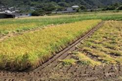 【期間限定】大三島産 天日干し新米コシヒカリご提供のお知らせ